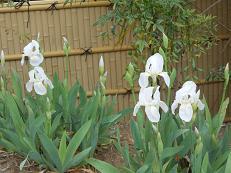 白花いちはつ